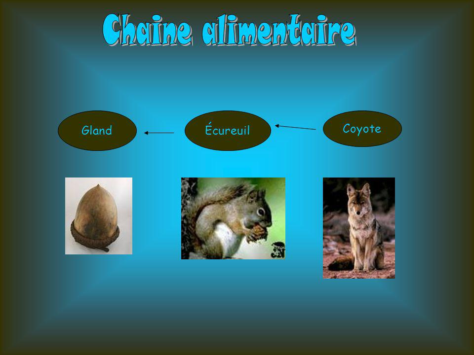Chaine alimentaire Gland Écureuil Coyote