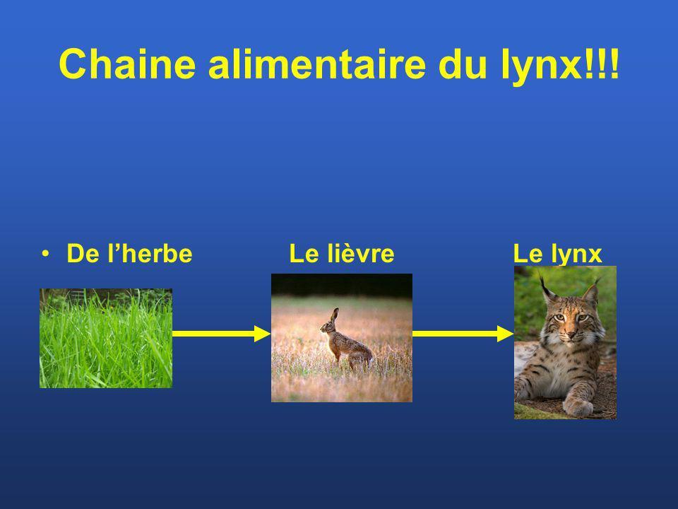 Chaine alimentaire du lynx!!!
