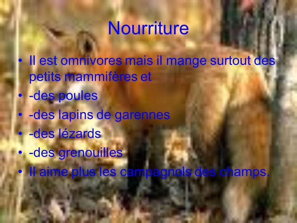 Nourriture Il est omnivores mais il mange surtout des petits mammifères et. -des poules. -des lapins de garennes.