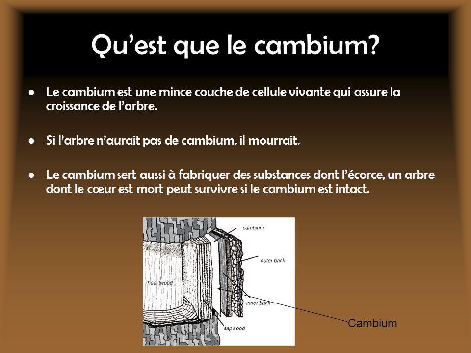 Qu'est que le cambium Le cambium est une mince couche de cellule vivante qui assure la croissance de l'arbre.