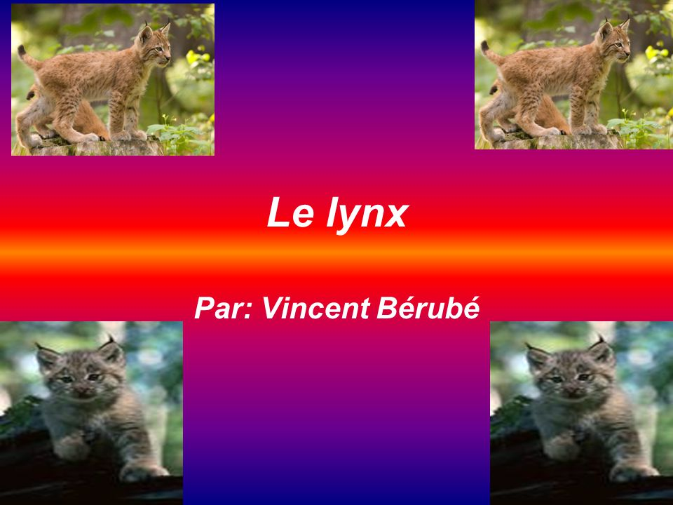 Le lynx Par: Vincent Bérubé