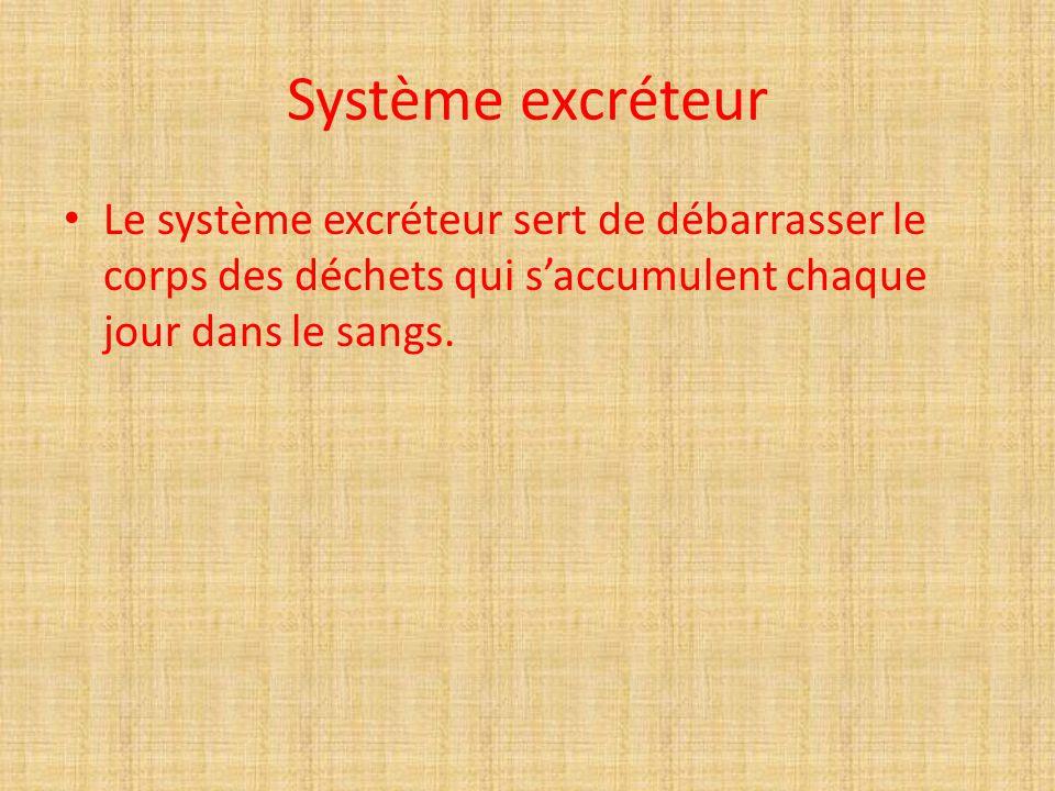 Système excréteur Le système excréteur sert de débarrasser le corps des déchets qui s'accumulent chaque jour dans le sangs.