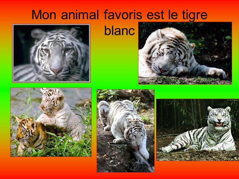 Mon animal favoris est le tigre blanc
