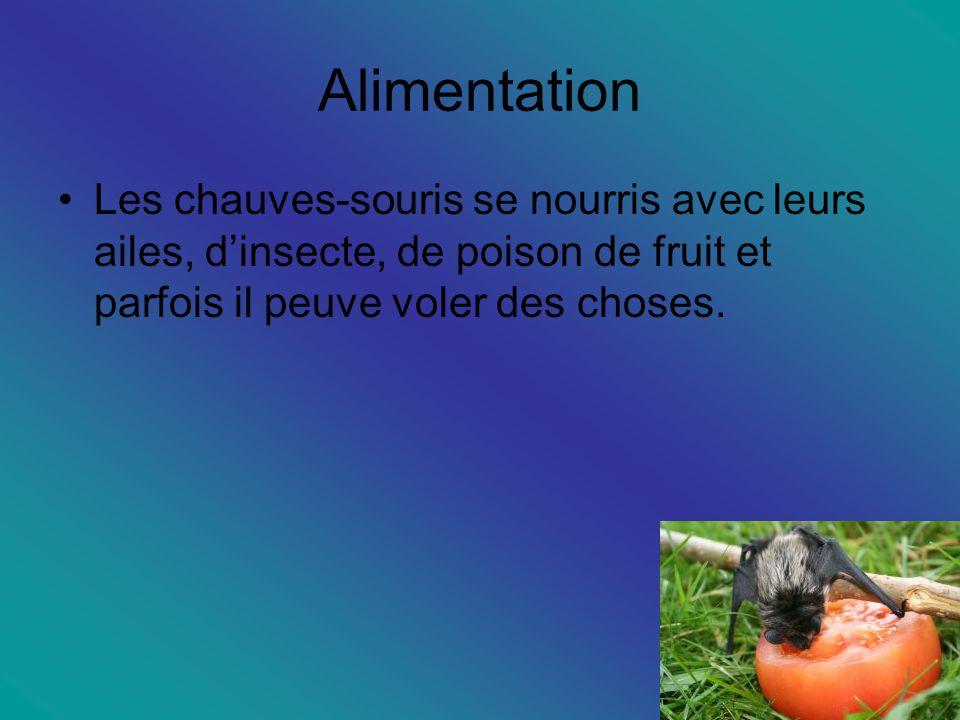 Alimentation Les chauves-souris se nourris avec leurs ailes, d'insecte, de poison de fruit et parfois il peuve voler des choses.
