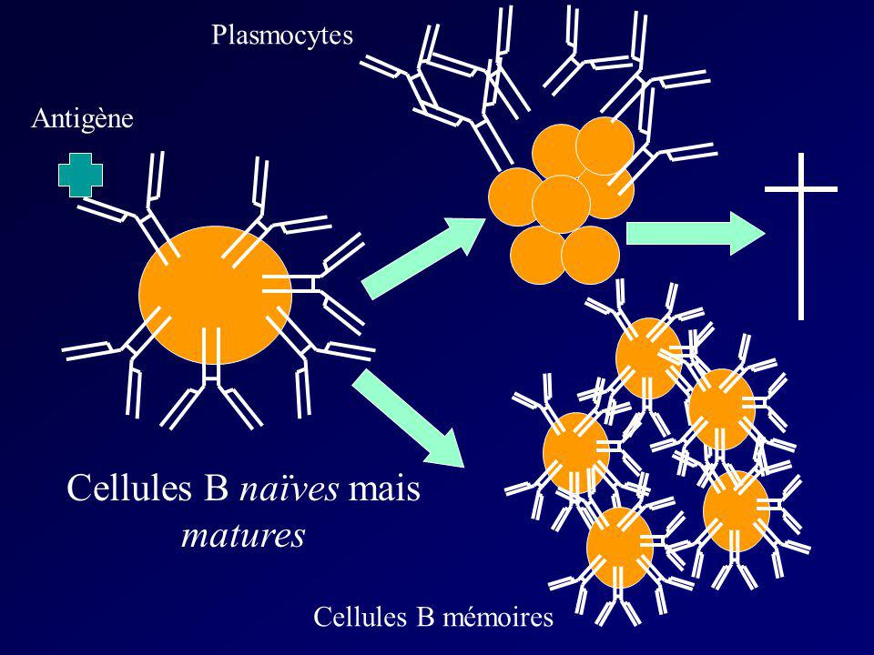 Cellules B naïves mais matures