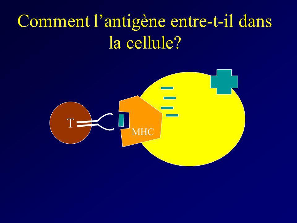 Comment l'antigène entre-t-il dans la cellule