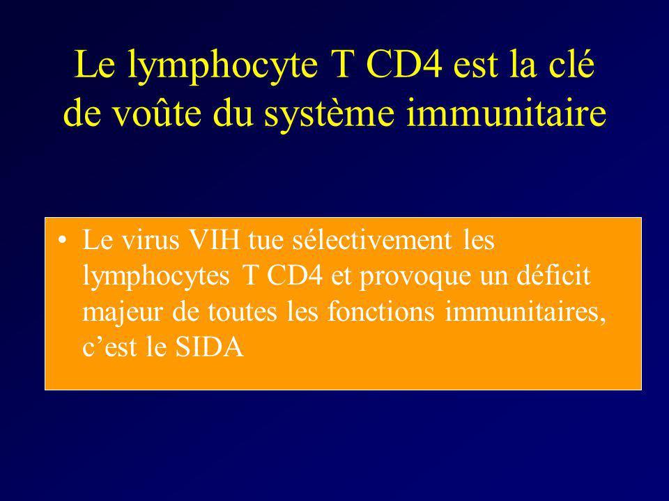 Le lymphocyte T CD4 est la clé de voûte du système immunitaire