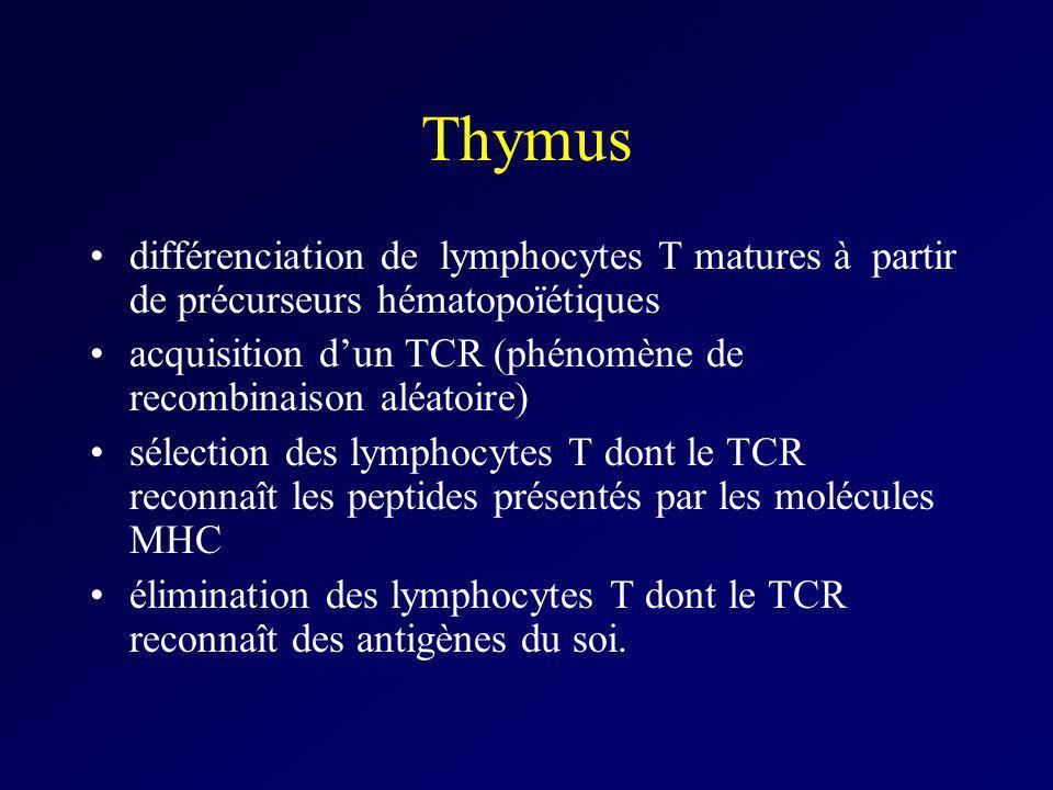 Thymus différenciation de lymphocytes T matures à partir de précurseurs hématopoïétiques.