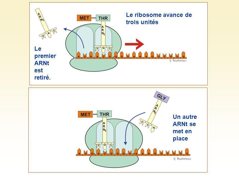 Le ribosome avance de trois unités