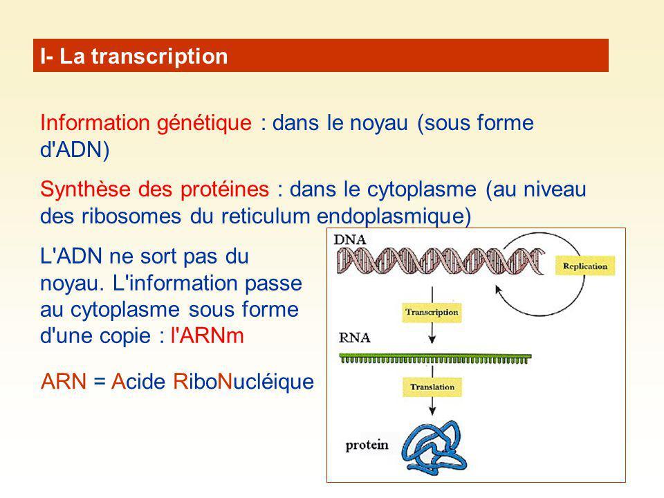 I- La transcription Information génétique : dans le noyau (sous forme d ADN)