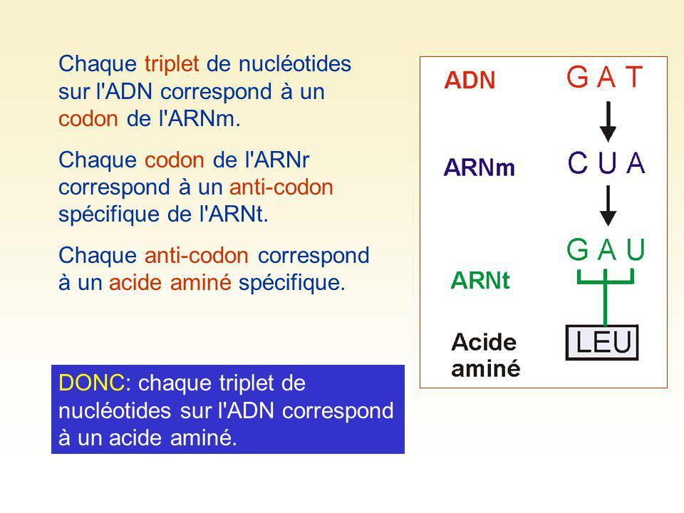 Chaque triplet de nucléotides sur l ADN correspond à un codon de l ARNm.