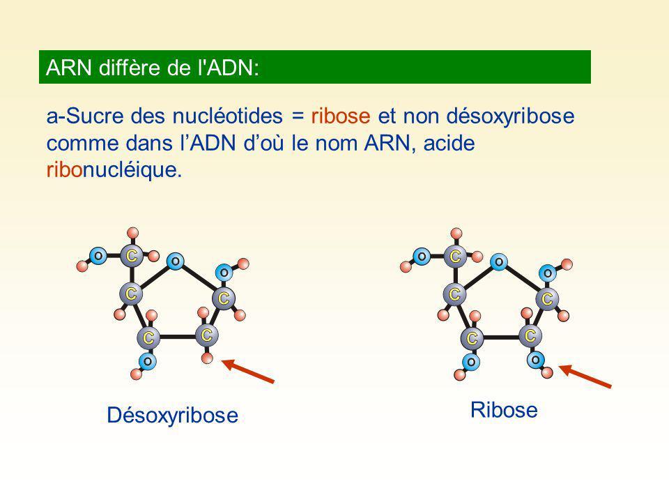 ARN diffère de l ADN: a-Sucre des nucléotides = ribose et non désoxyribose comme dans l'ADN d'où le nom ARN, acide ribonucléique.