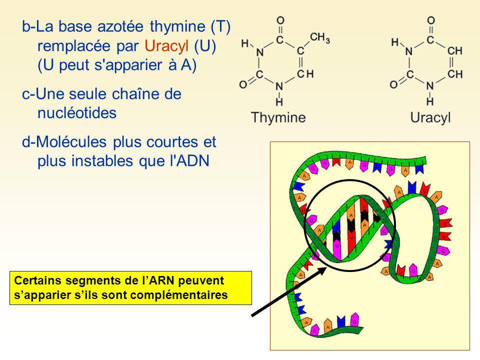 c-Une seule chaîne de nucléotides