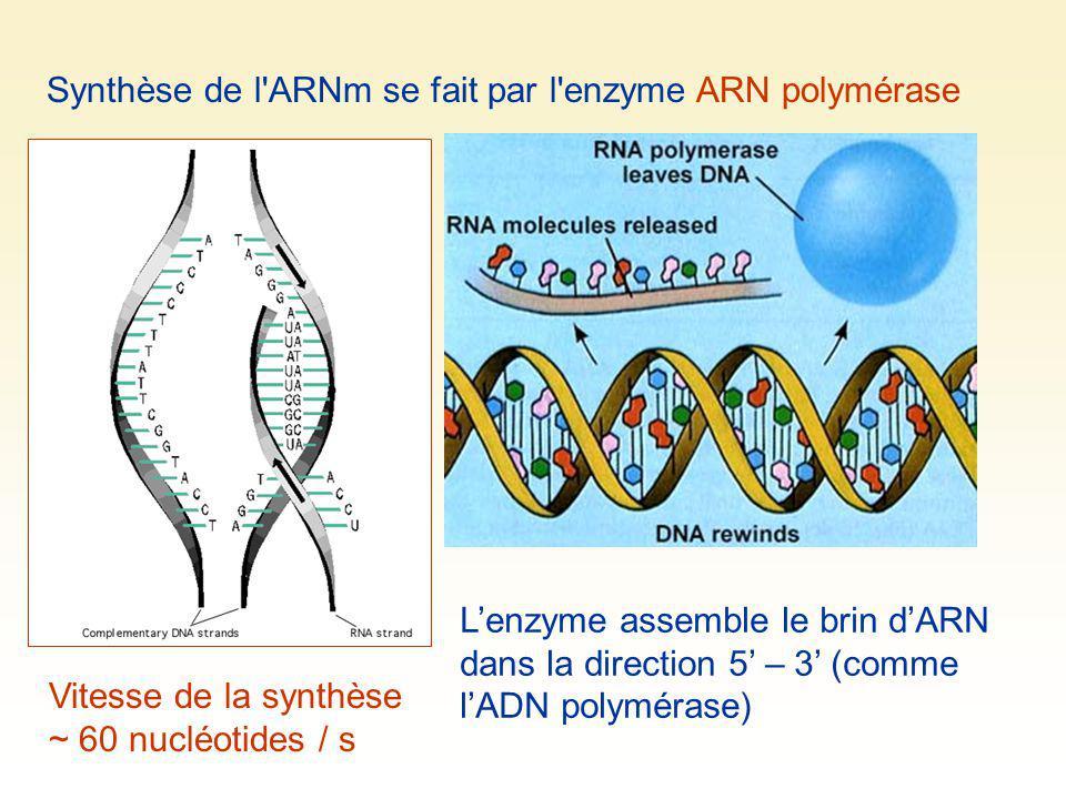 Synthèse de l ARNm se fait par l enzyme ARN polymérase
