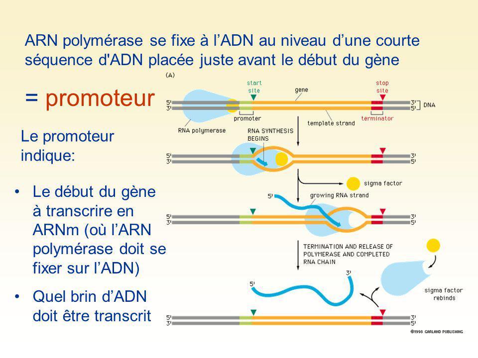 ARN polymérase se fixe à l'ADN au niveau d'une courte séquence d ADN placée juste avant le début du gène