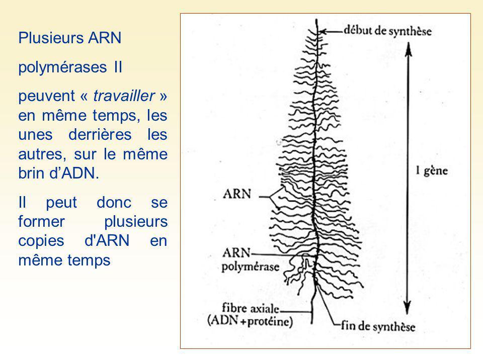 Plusieurs ARN polymérases II. peuvent « travailler » en même temps, les unes derrières les autres, sur le même brin d'ADN.