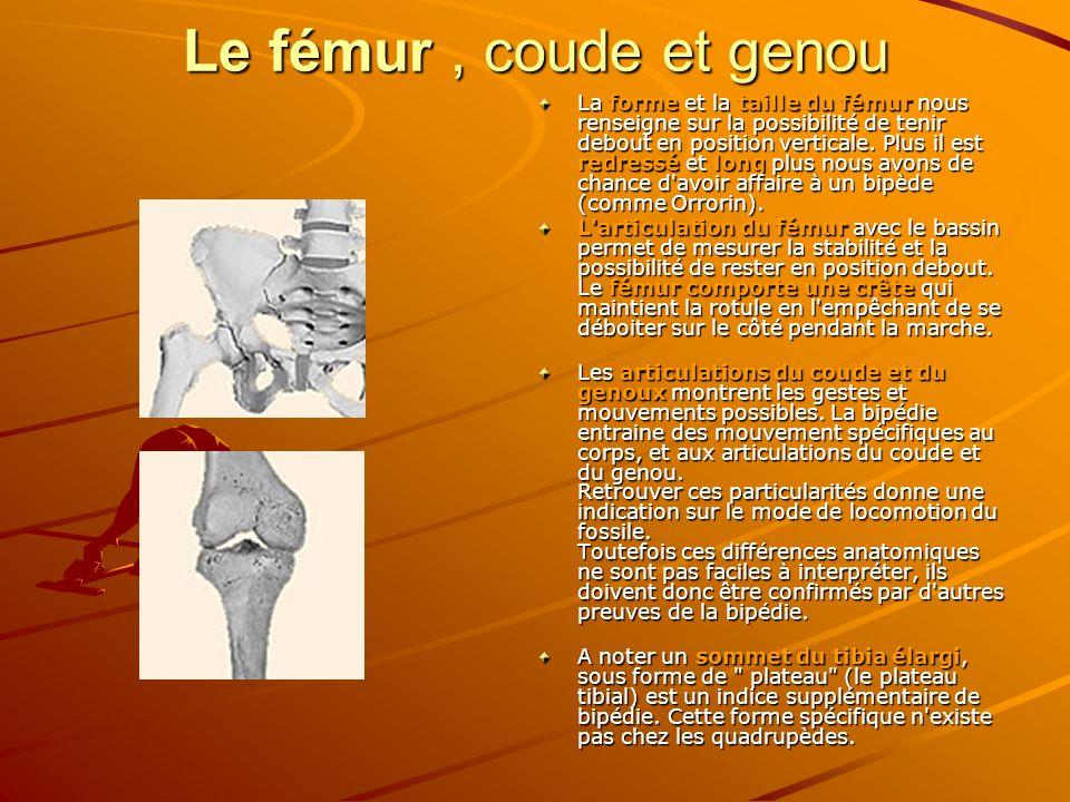 Le fémur , coude et genou