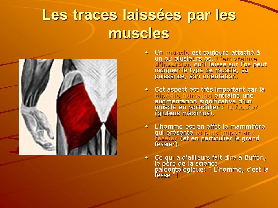 Les traces laissées par les muscles