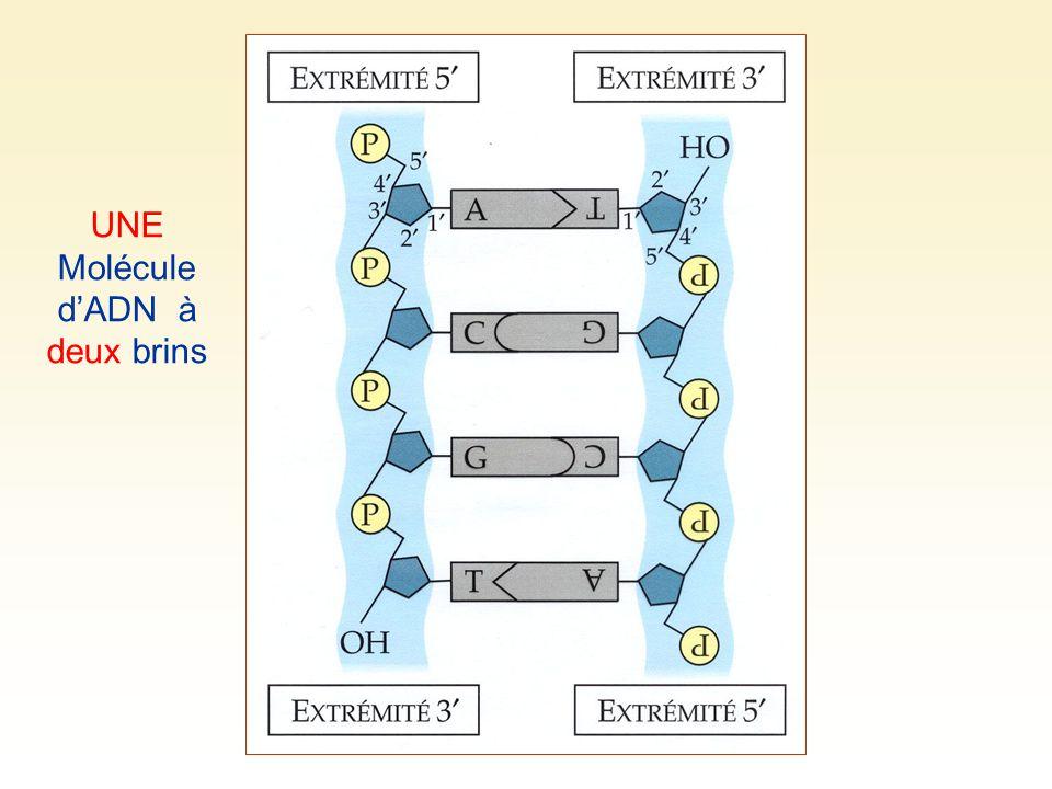 UNE Molécule d'ADN à deux brins