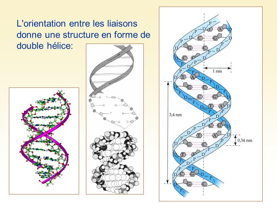 L orientation entre les liaisons donne une structure en forme de double hélice: