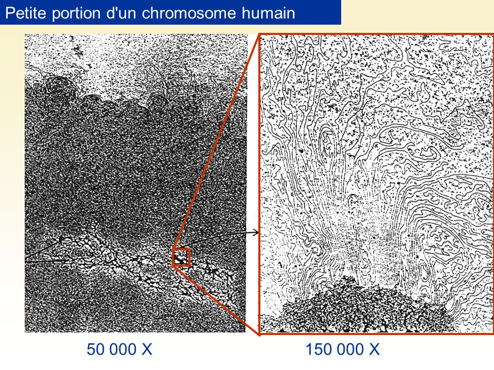 Petite portion d un chromosome humain