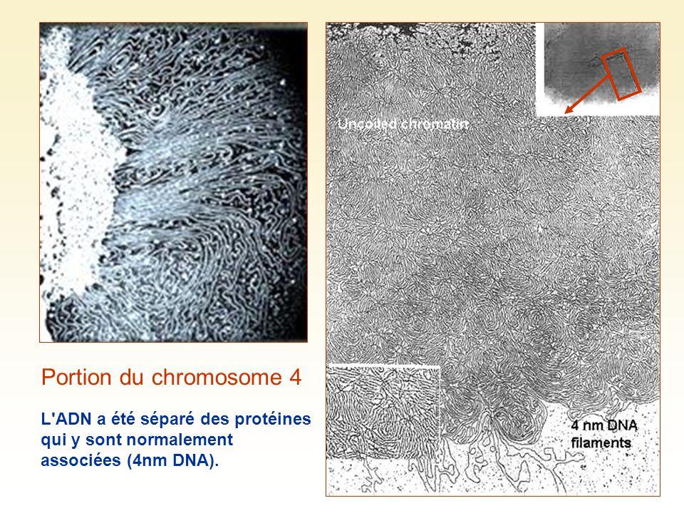 Portion du chromosome 4 L ADN a été séparé des protéines qui y sont normalement associées (4nm DNA).