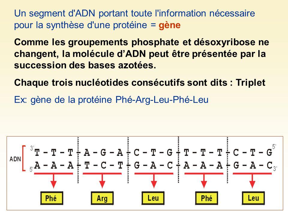 Un segment d ADN portant toute l information nécessaire pour la synthèse d une protéine = gène