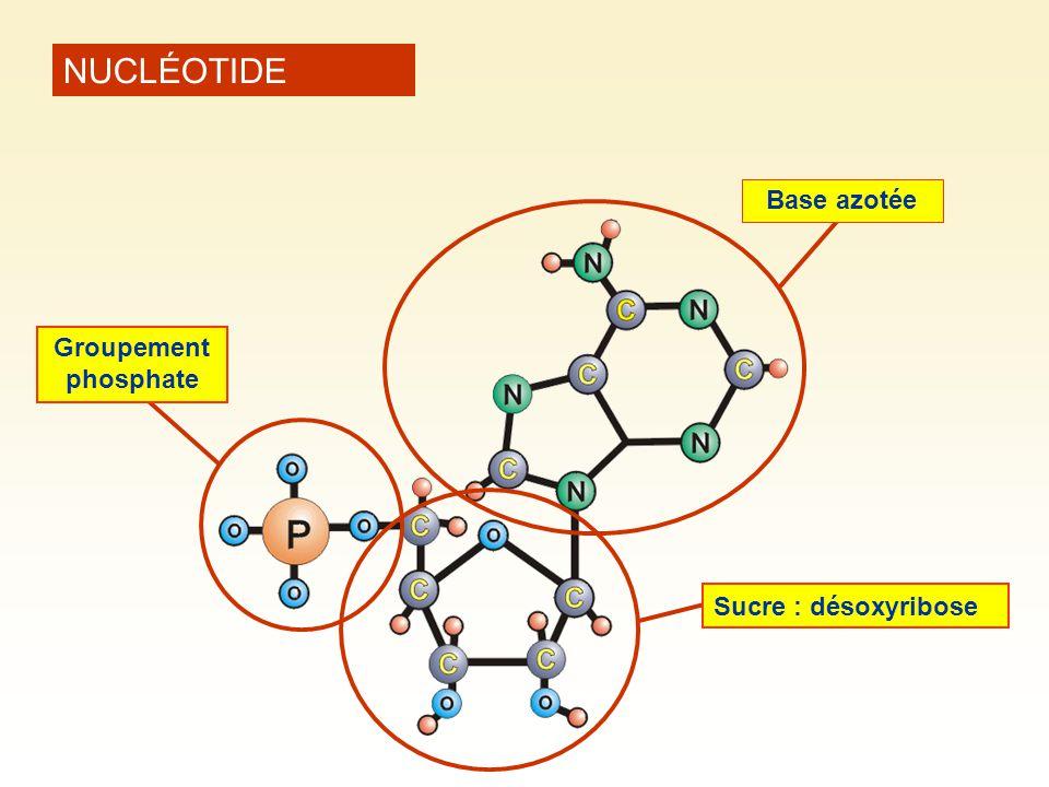 NUCLÉOTIDE Base azotée Groupement phosphate Sucre : désoxyribose
