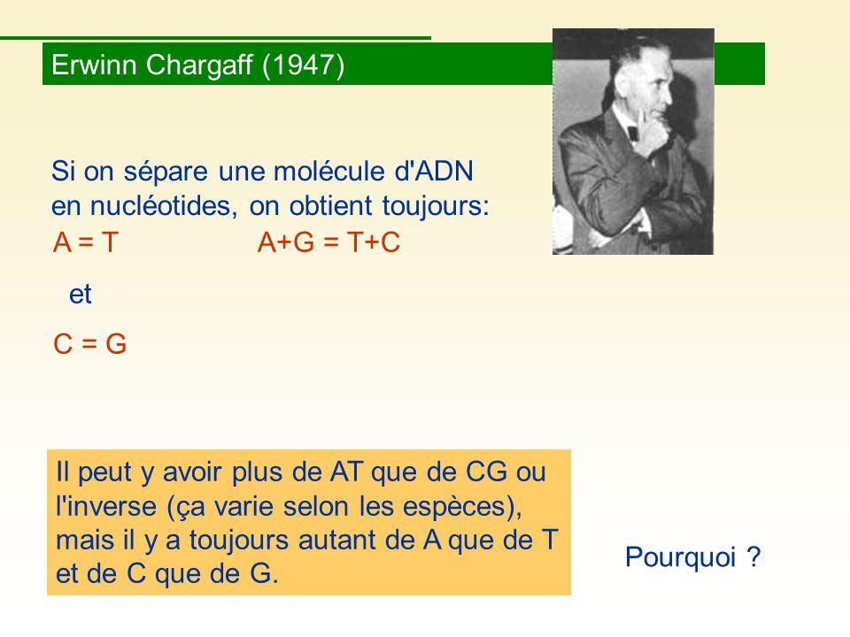 Erwinn Chargaff (1947) Si on sépare une molécule d ADN en nucléotides, on obtient toujours: A = T A+G = T+C.