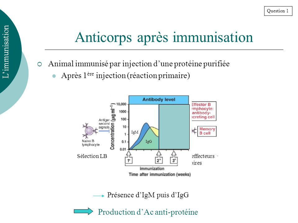 Anticorps après immunisation