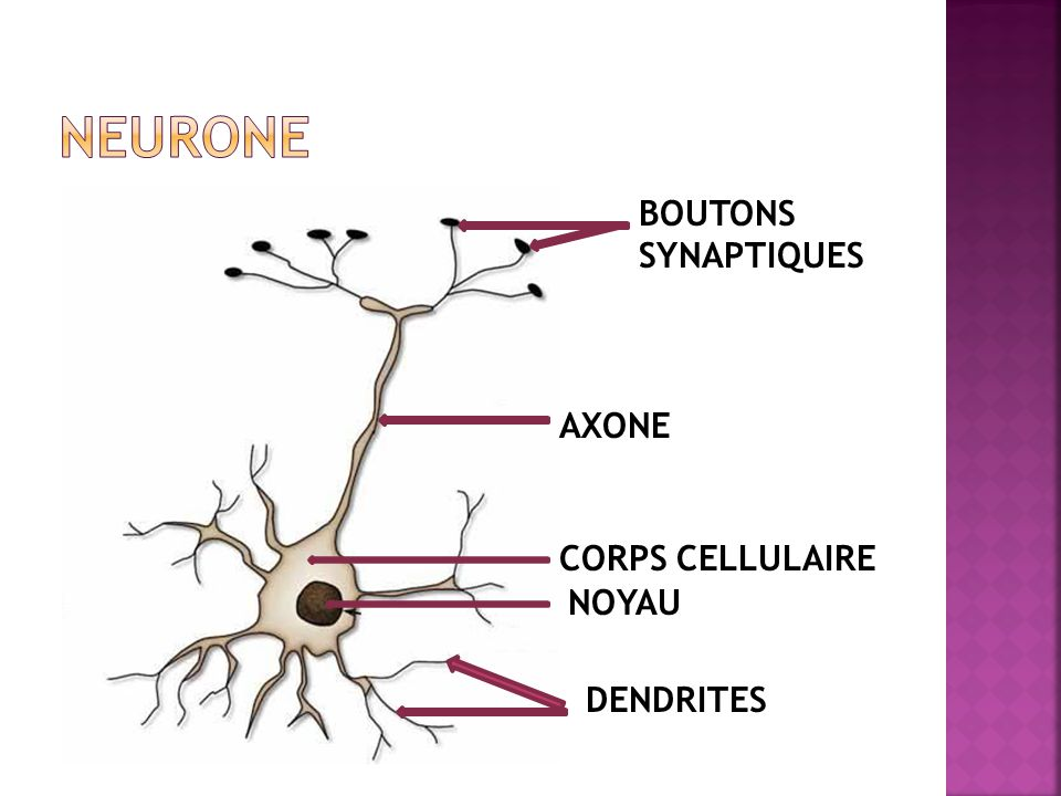 NEURONE BOUTONS SYNAPTIQUES AXONE CORPS CELLULAIRE NOYAU DENDRITES