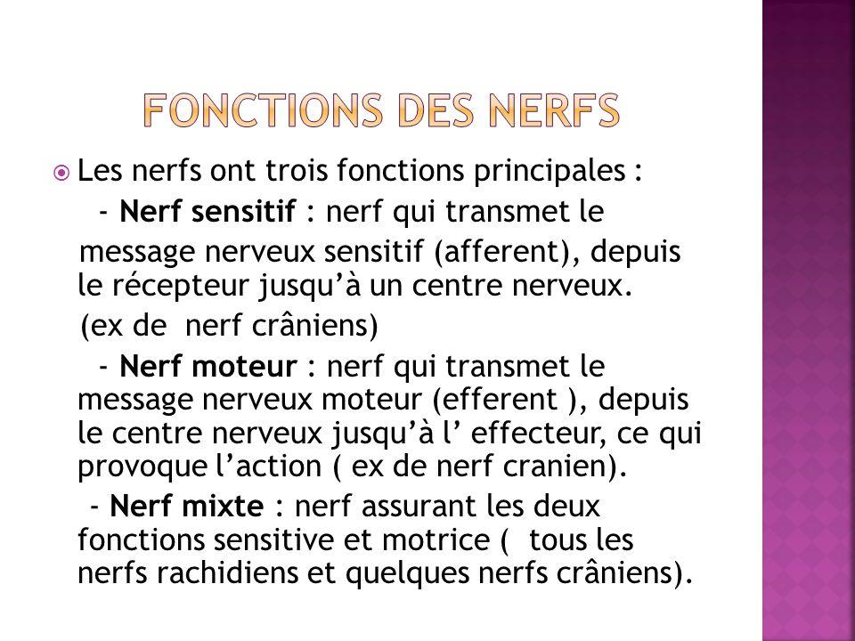 Fonctions des nerfs Les nerfs ont trois fonctions principales :