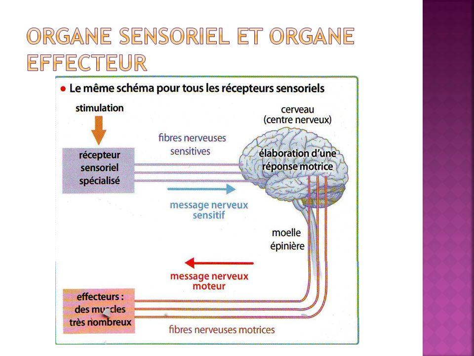 Organe sensoriel et organe effecteur