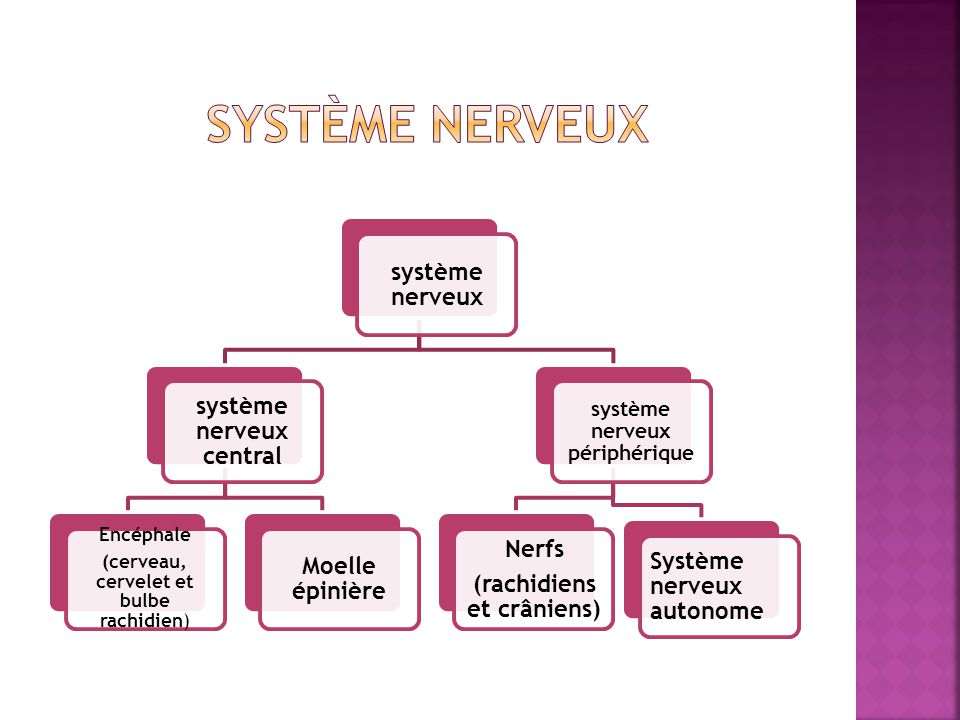 Système nerveux système nerveux système nerveux central