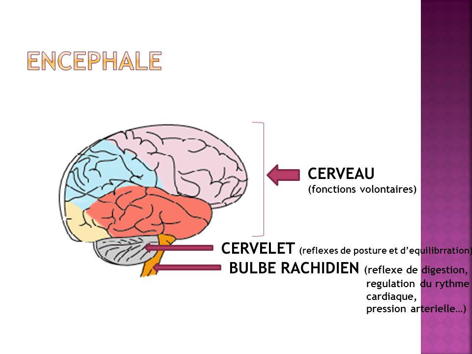 Encephale CERVEAU CERVELET (reflexes de posture et d'equilibrration)