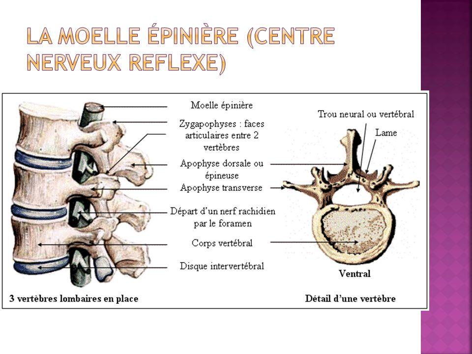 La moelle épinière (centre nerveux reflexe)
