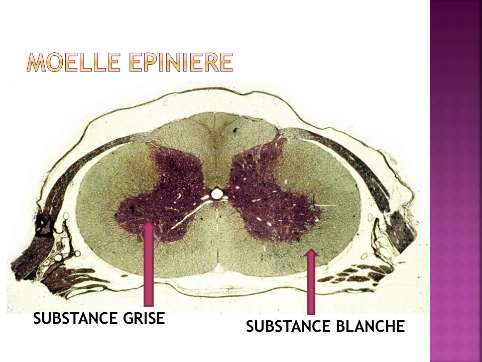 MOELLE EPINIERE SUBSTANCE GRISE SUBSTANCE BLANCHE