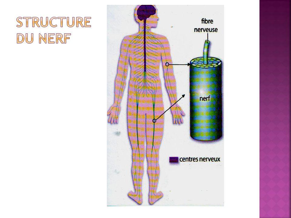 Structure du nerf