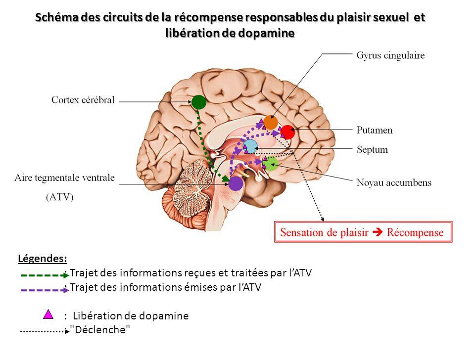 Schéma des circuits de la récompense responsables du plaisir sexuel et libération de dopamine