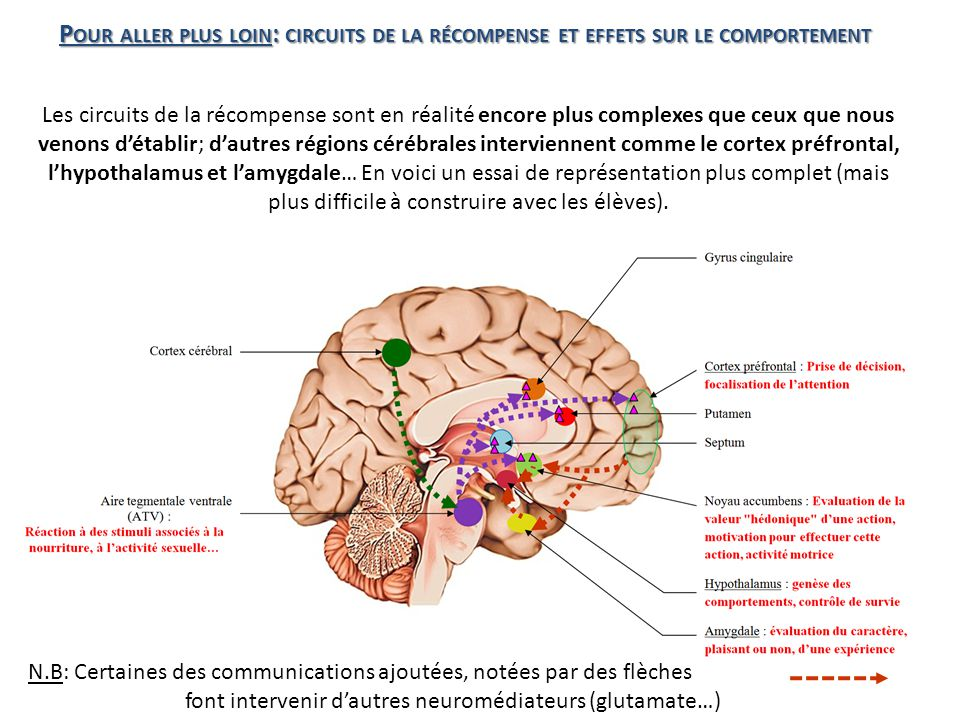 font intervenir d'autres neuromédiateurs (glutamate…)