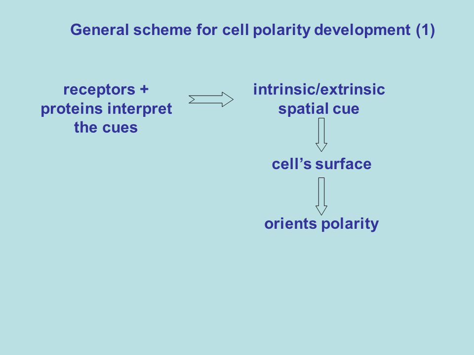General scheme for cell polarity development (1)