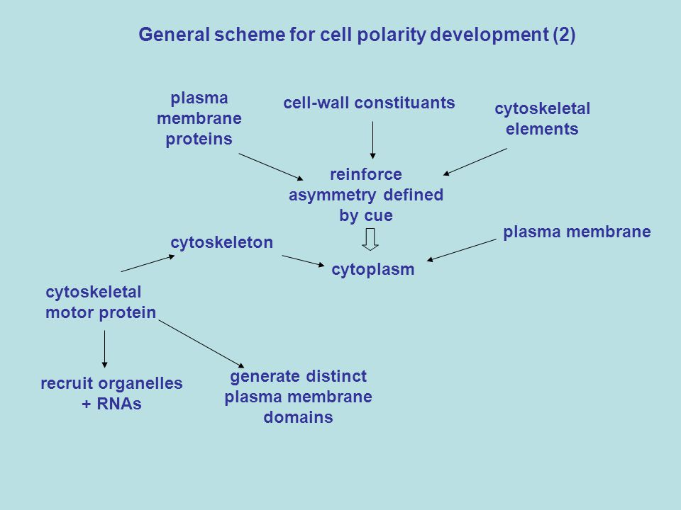 General scheme for cell polarity development (2)
