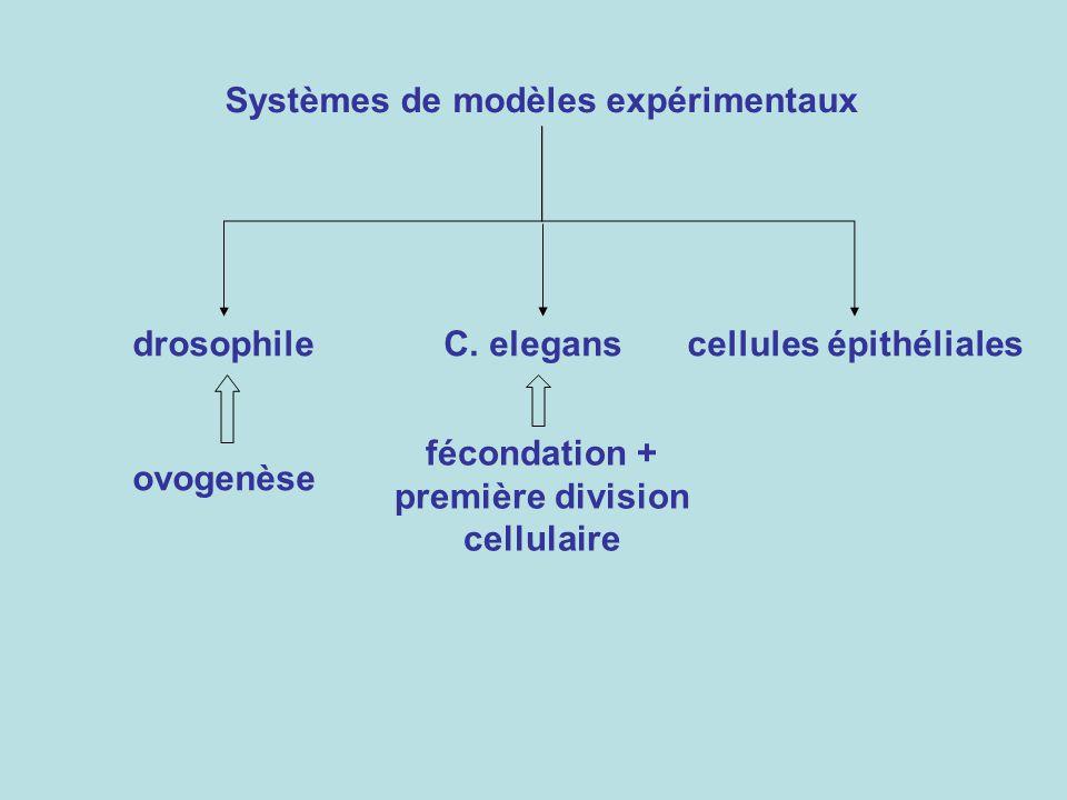 fécondation + première division cellulaire