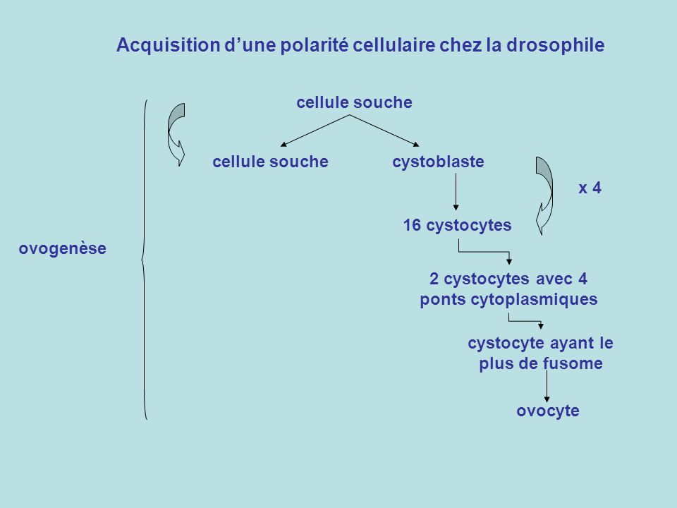 Acquisition d'une polarité cellulaire chez la drosophile