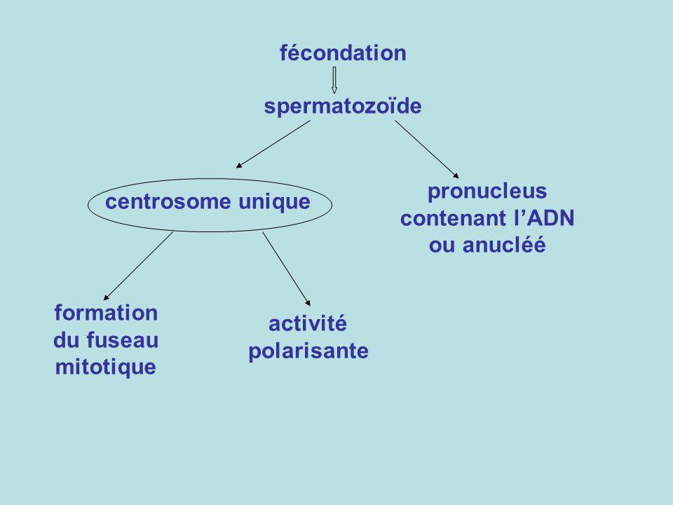 pronucleus contenant l'ADN ou anucléé formation du fuseau mitotique