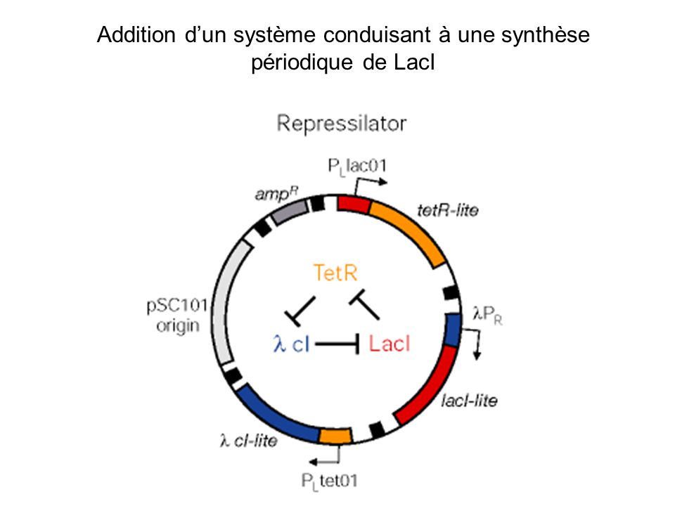 Addition d'un système conduisant à une synthèse périodique de LacI