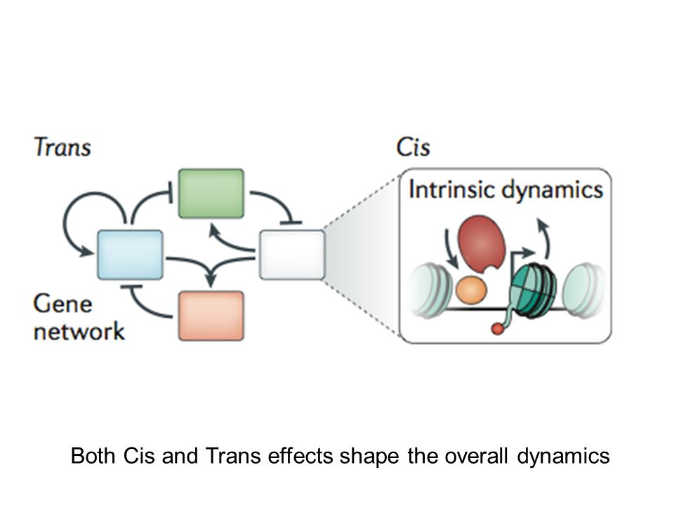 Both Cis and Trans effects shape the overall dynamics