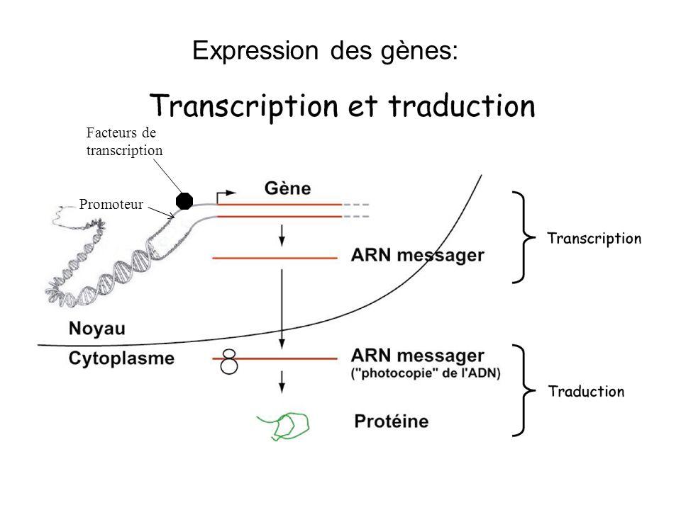 Expression des gènes: Facteurs de transcription Promoteur