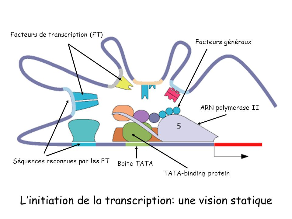 L'initiation de la transcription: une vision statique