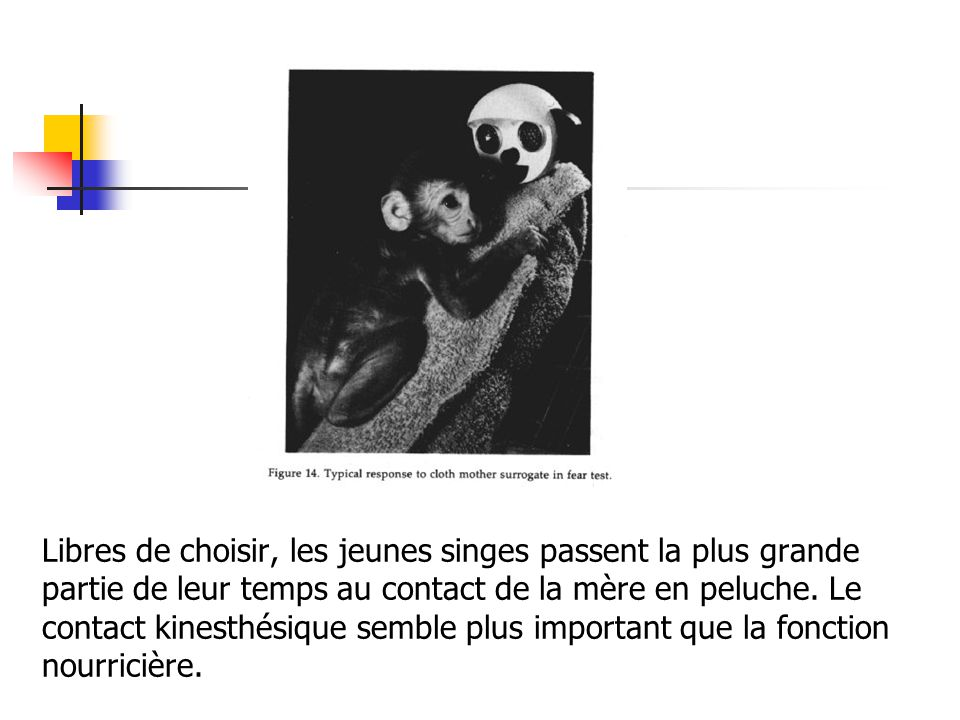 Libres de choisir, les jeunes singes passent la plus grande partie de leur temps au contact de la mère en peluche.